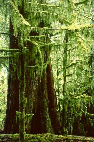 Cedars Vancouver Island