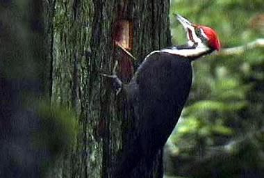 Shkenca dhe gjallesat 02-3-woodpecker
